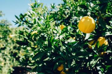 tree-lemon-fruit_convert_20160415171652